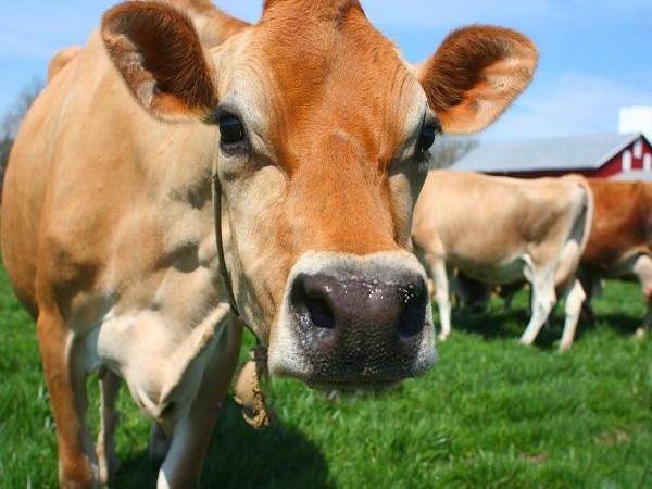 Mơ thấy con bò có điềm gì?