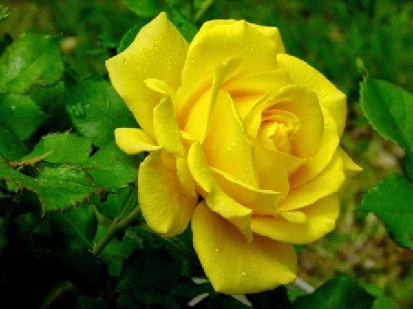 Mơ thấy hoa hồng có điềm gì?