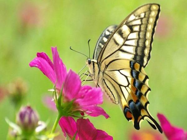 Nằm mơ thấy bươm bướm có điềm báo gì?