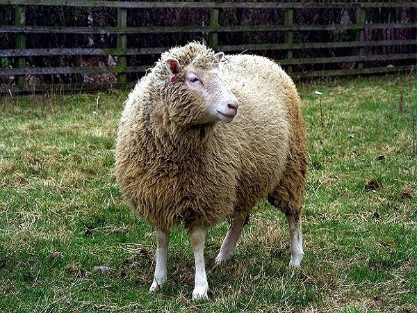 Mơ thấy con cừu điềm gì?
