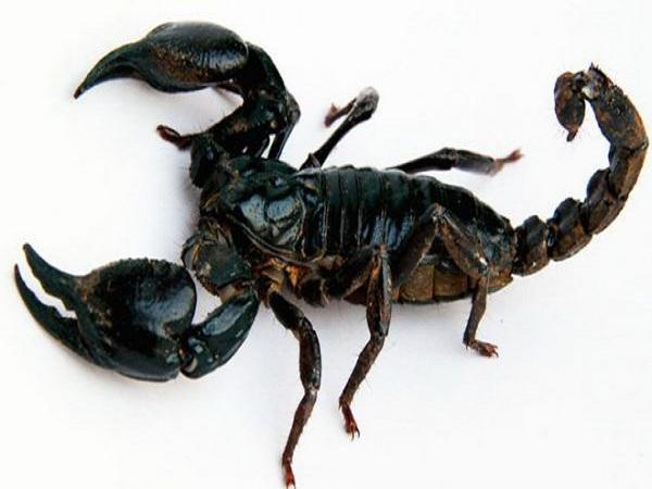 Mơ thấy bọ cạp là điềm lành hay xấu?