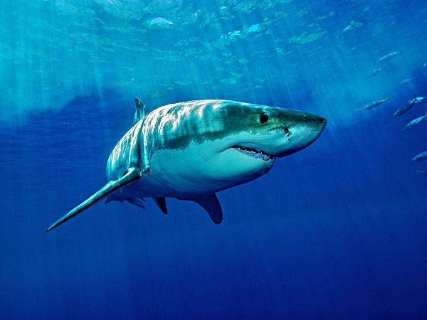 Mơ thấy cá mập có điềm gì?
