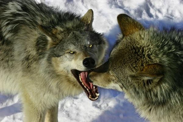 Mơ thấy chó sói điềm gì?