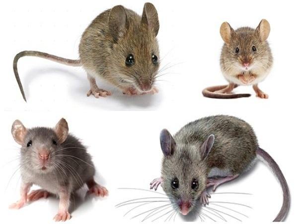 Mơ thấy chuột mang lại điềm báo gì?