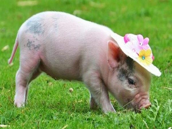 Mơ thấy lợn có điềm báo gì?
