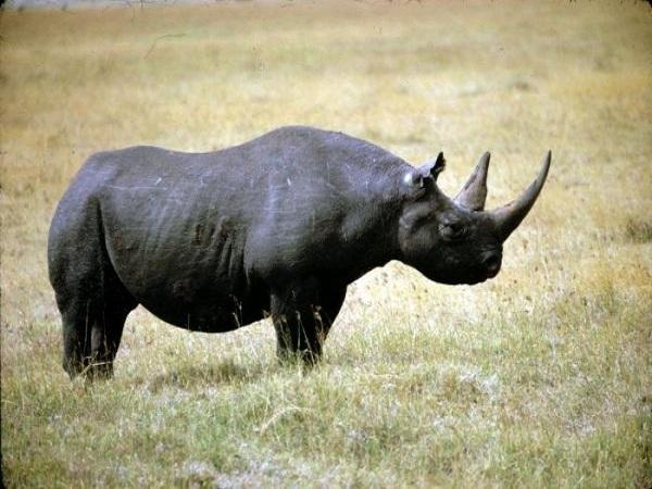Mơ thấy tê giác điềm gì?