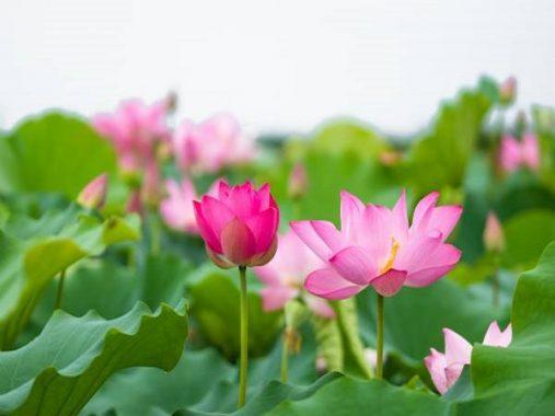 Giải mã giấc mơ thấy hoa sen điềm gì, đánh con gì