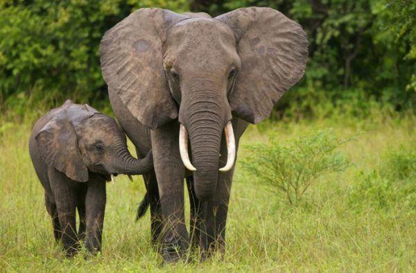 Giải mã ý nghĩa nằm mơ thấy voi nên đánh con gì