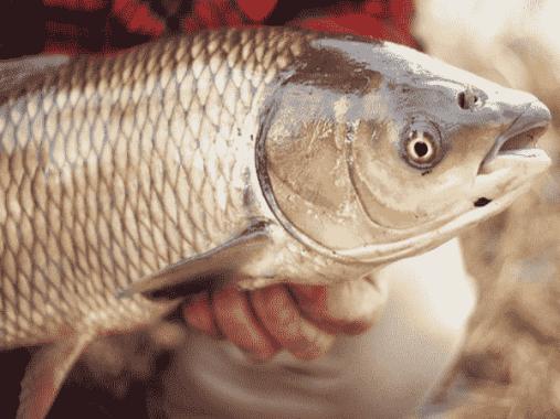 Chiêm bao thấy cá trắm có ý nghĩa gì đặc biệt