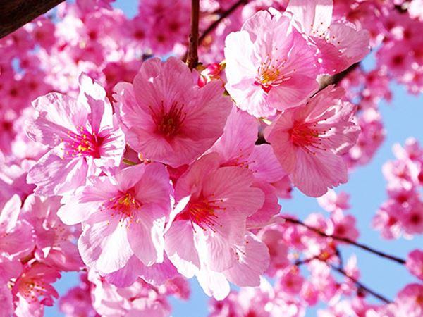 Mơ thấy hoa đào là điềm báo gì - Con số bí ẩn là số mấy?
