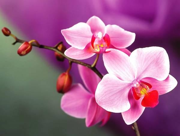 Giải mã giấc mơ thấy hoa lan là điềm báo gì