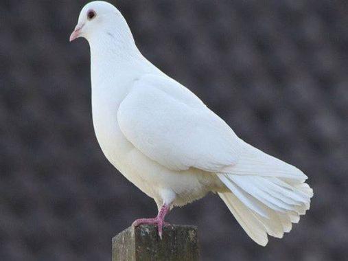 Nằm mơ thấy chim bồ câu đánh xổ số lô đề con gì dễ trúng