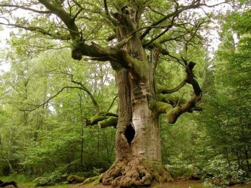 Mơ thấy cây cổ thụ điềm báo lành hay dữ? Đánh con gì chính xác?