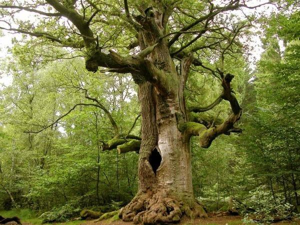 Mơ thấy cây cổ thụ điềm báo lành hay dữ?