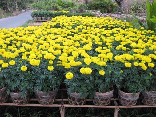 Luận giải ý nghĩa giấc mơ thấy hoa vạn thọ đánh lô đề con số nào chính xác?