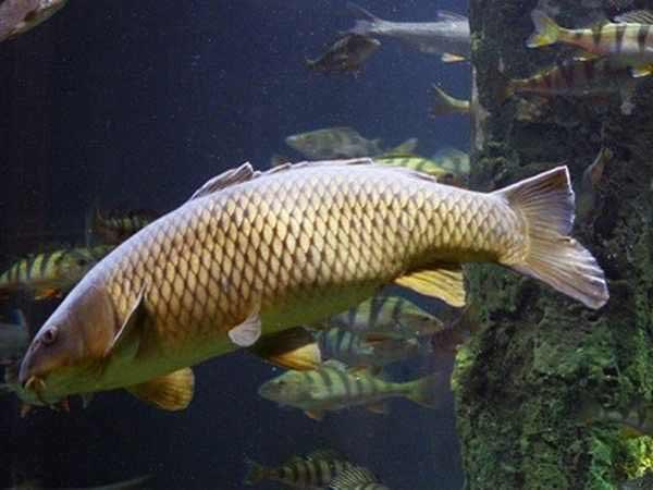 Nằm mơ thấy cá chép có điềm báo gì, đánh con gì ăn chắc