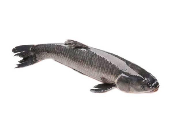 Giải mã giấc mơ thấy cá lóc điềm báo gì?