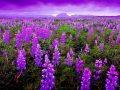 Phân tích ý nghĩa giấc mơ thấy hoa màu tím đánh con gì?