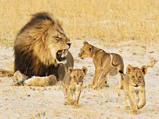 Nằm mơ thấy sư tử đánh lô số mấy ? là điềm báo gì ?
